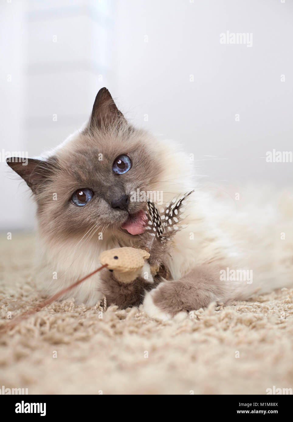 Sacred Birman. Adult lying on a carpet, playing with a feather teaser. Germany - Stock Image