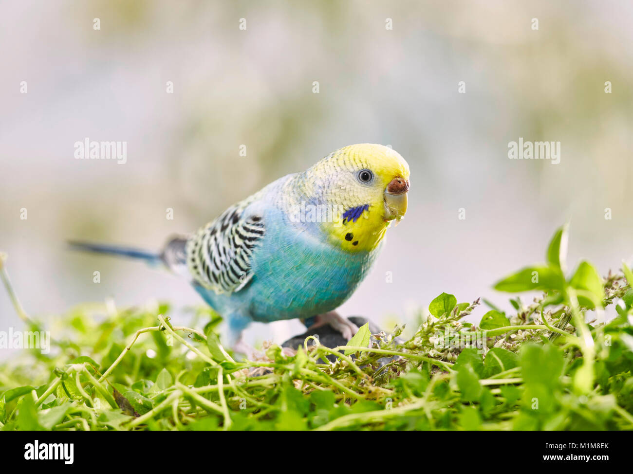 Rainbow Budgerigar, Budgie (Melopsittacus undulatus) on Chickweed (Stellaria media), Germany - Stock Image