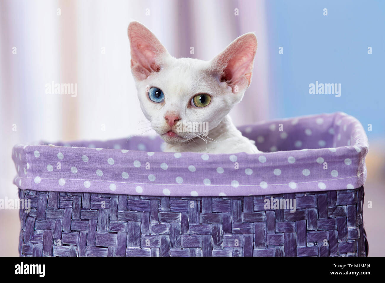 Devon Rex. Kitten with eyes of different color, sitting in a basket. Germany - Stock Image