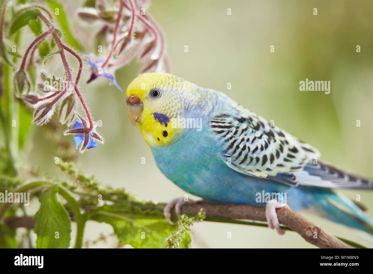 Rainbow Budgerigar, Budgie (Melopsittacus undulatus) on Borage (Borago officinalis) stalk. Germany . - Stock Image