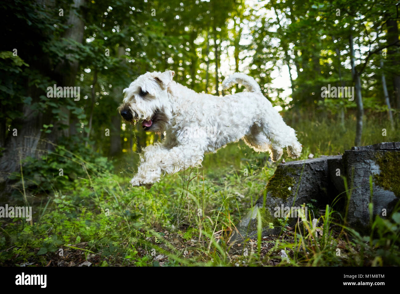 Irish Soft Coated Wheaten Terrier. Adult dog leaping from a tree stump. Germany. - Stock Image