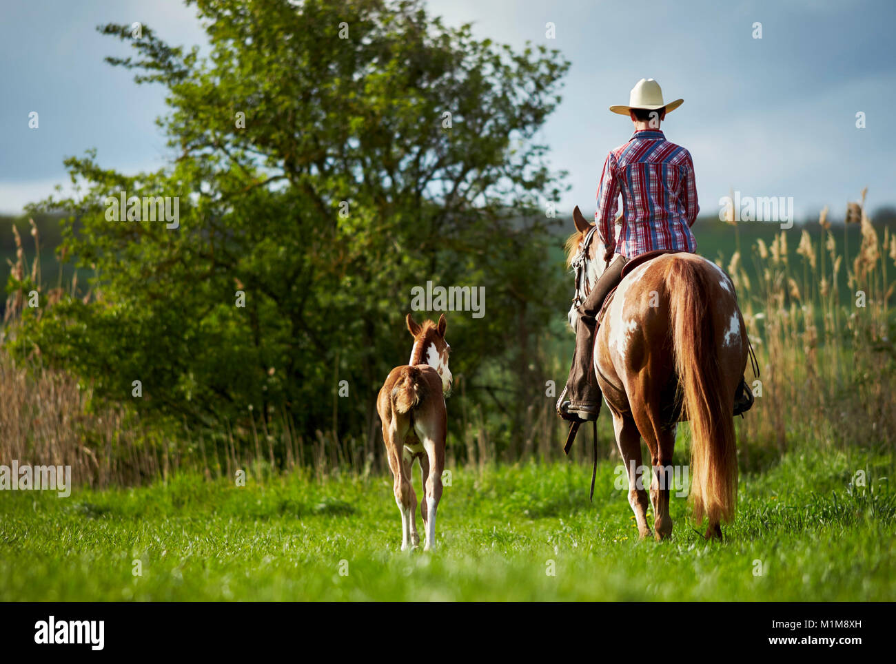 Pintabian. Rider on mare accompanied by foal on a cross-country ride. Germany - Stock Image
