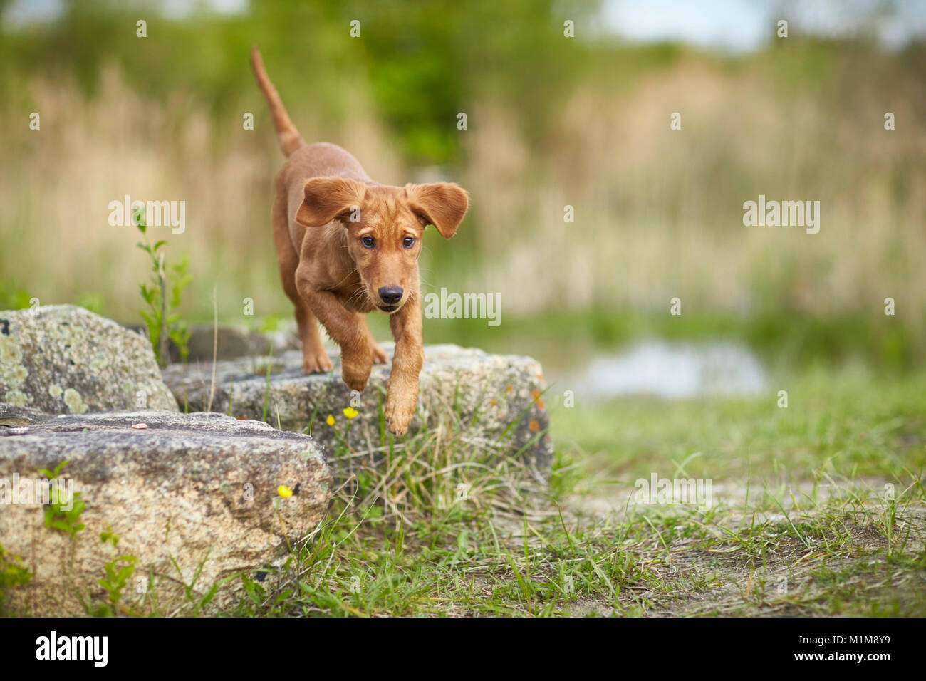 Golden Retriever. Puppy jumping from a rock. Germany. - Stock Image