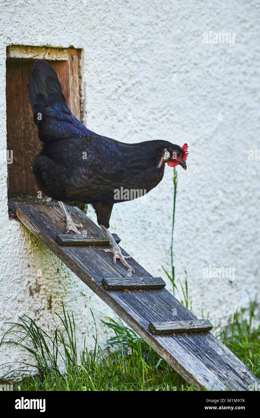 Augsburger Chicken. Hen leaving henhouse over a chicken-ladder. Germany - Stock Image
