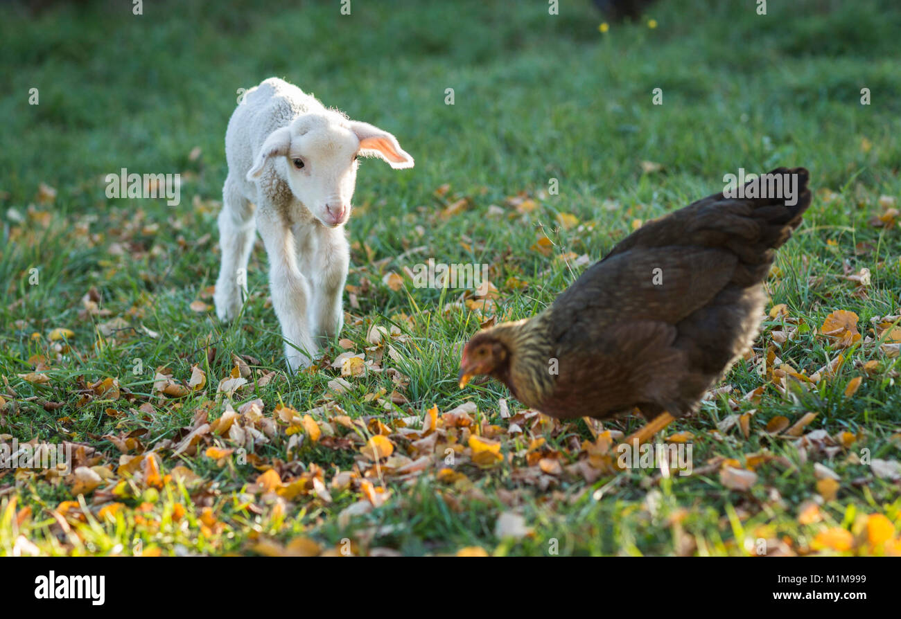 Domestic sheep. Merino lamb meeting Welsummer Chicken, foraging in leaf litter. Germany. - Stock Image