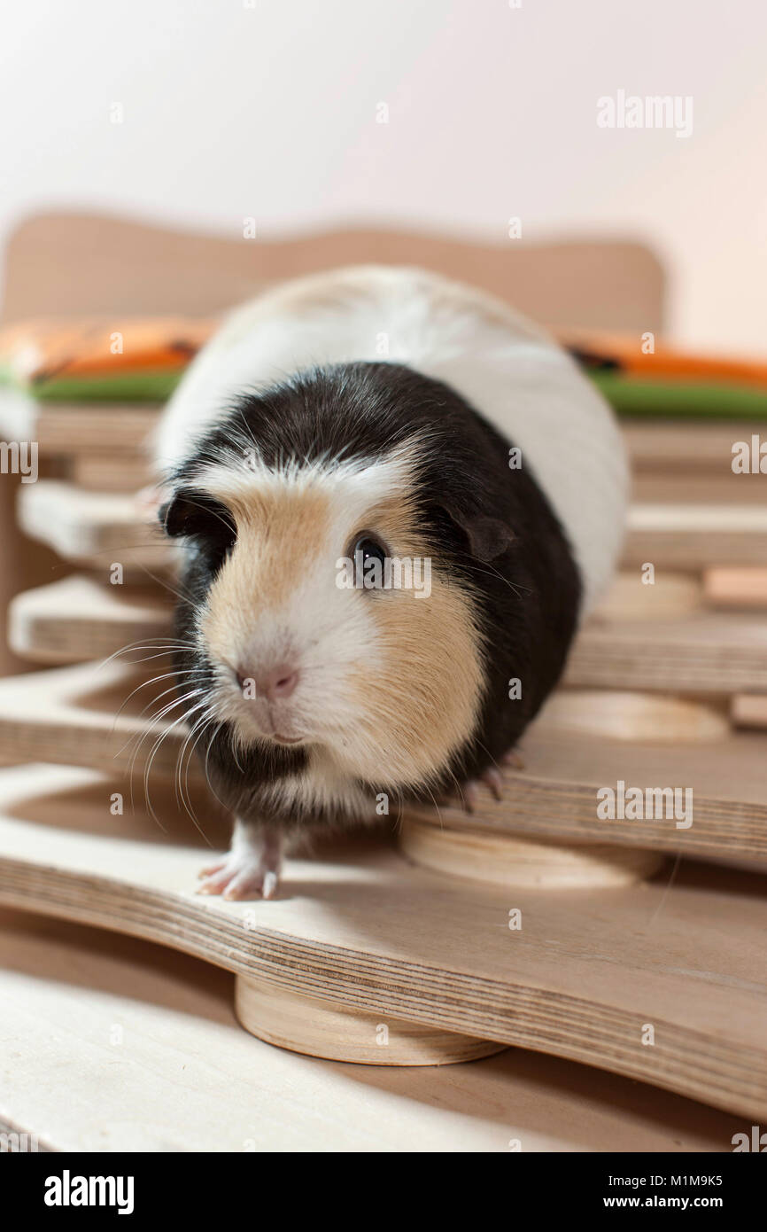 English Crested Guinea Pig, Cavie walking on a selfmade staircase. Germany - Stock Image