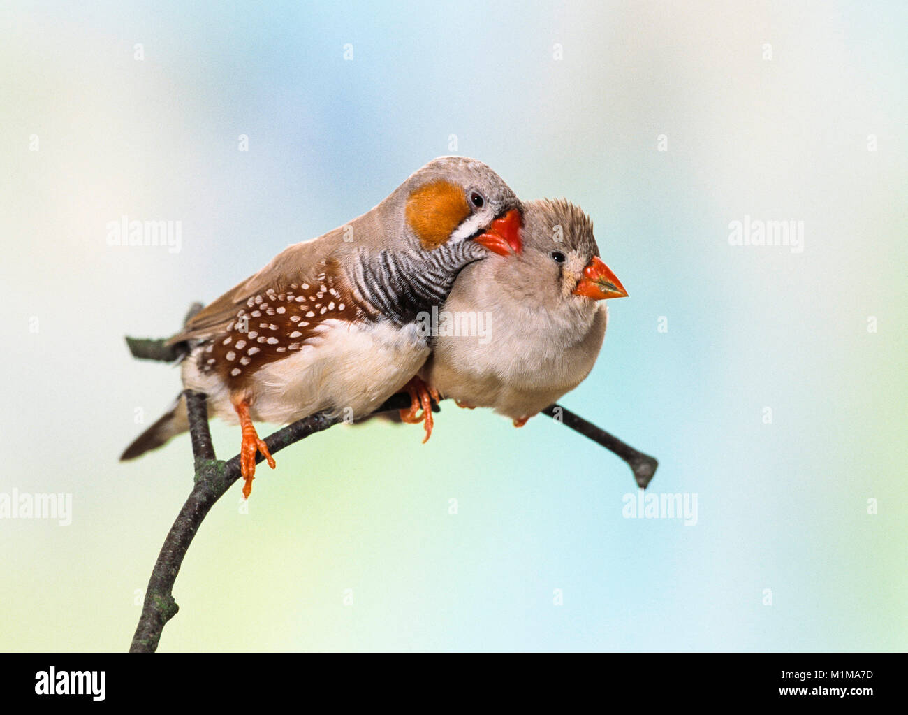 Zebra Finch (Taeniopygia guttata). Tender couple perched on a twig. Germany - Stock Image