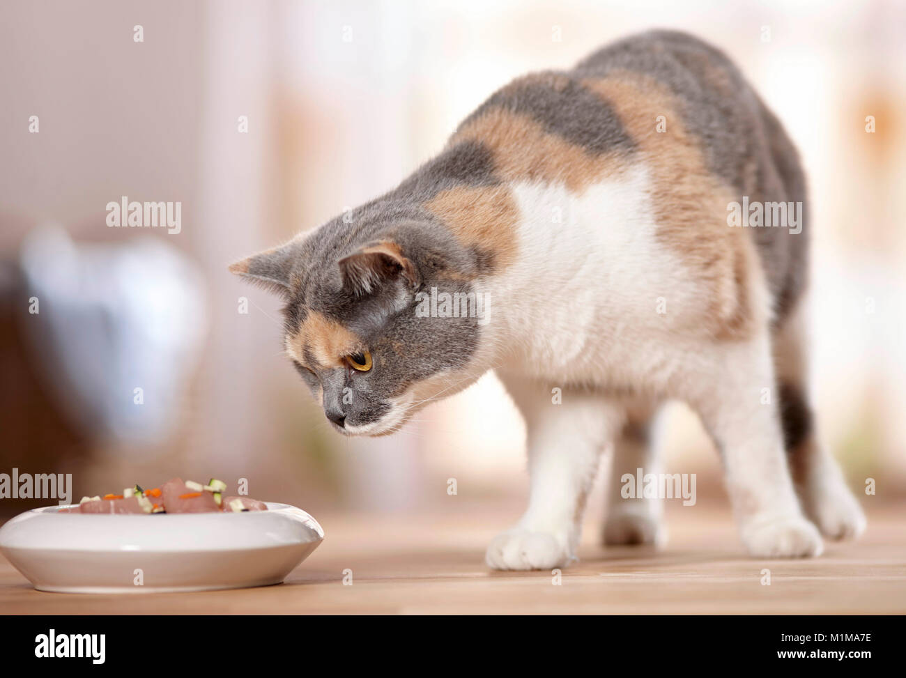 British Shorthair. Adult examining raw meat and vegetables (BARF) in its food bowl. Germany - Stock Image
