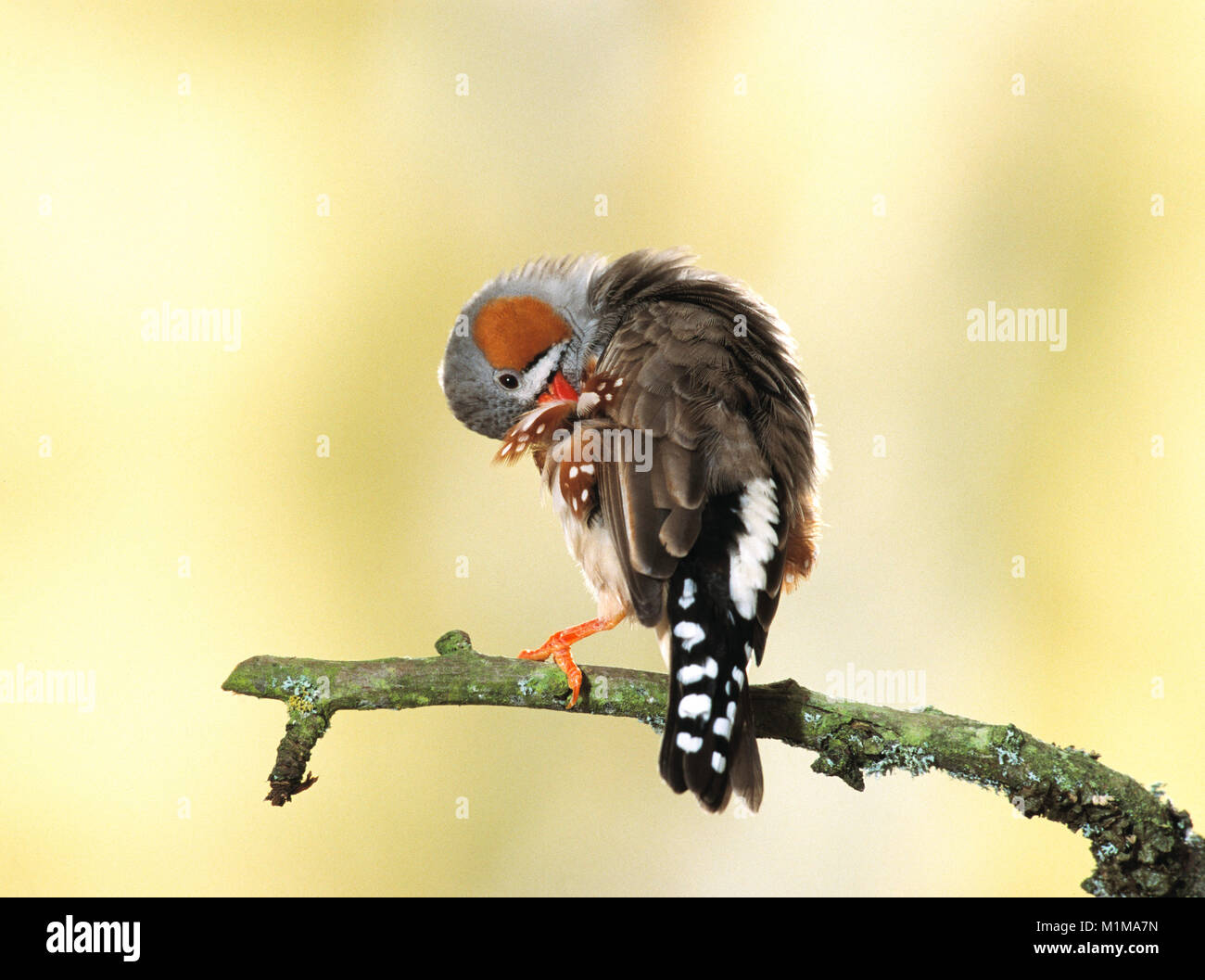 Zebra Finch (Taeniopygia guttata). Adult perched on a twig, preening. Germany - Stock Image