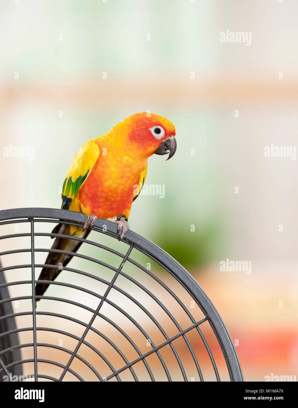 Sun Conure (Aratinga solstitialis). Adult perched on its cage. Germany - Stock Image