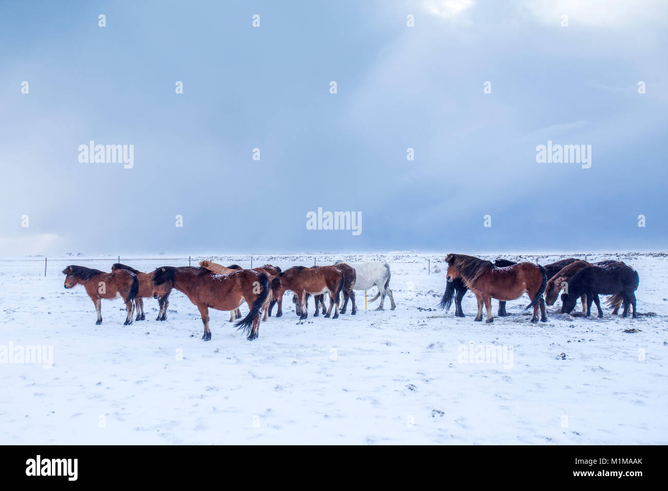 Icelandic horses in winter - Stock Image