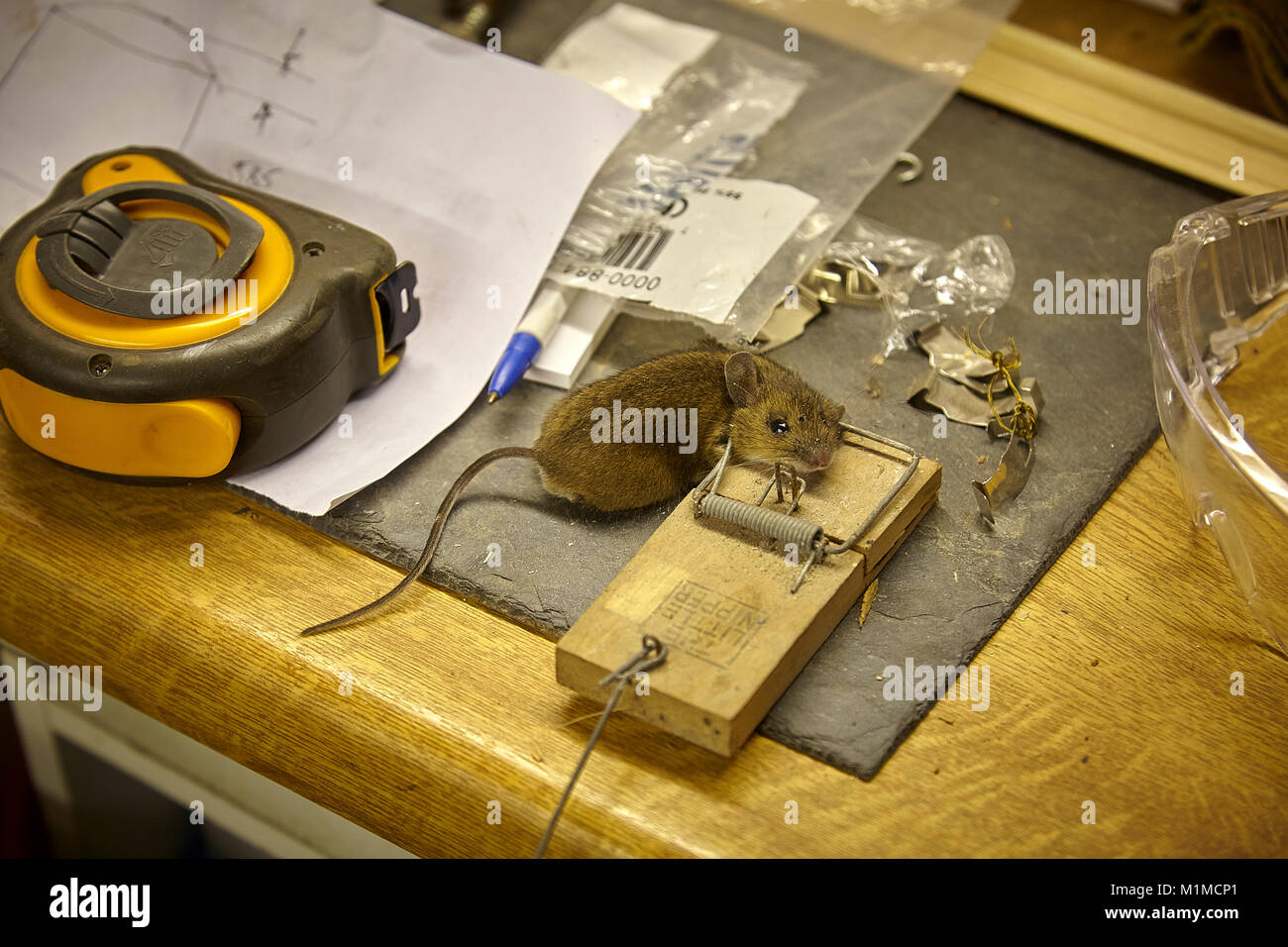Mouse caught in 'Little Nipper' mouse trap in woodworking outbuilding in Nidderdale, North Yorkshire - Stock Image