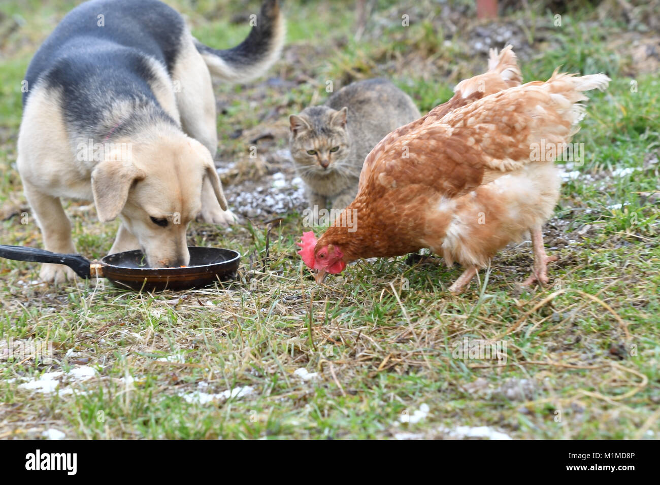 Domestic animals chicken hen dog and cat eating together from the grass as a best friends - Stock Image