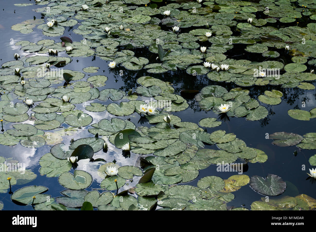 Waterlillies on a clear summer day - Stock Image