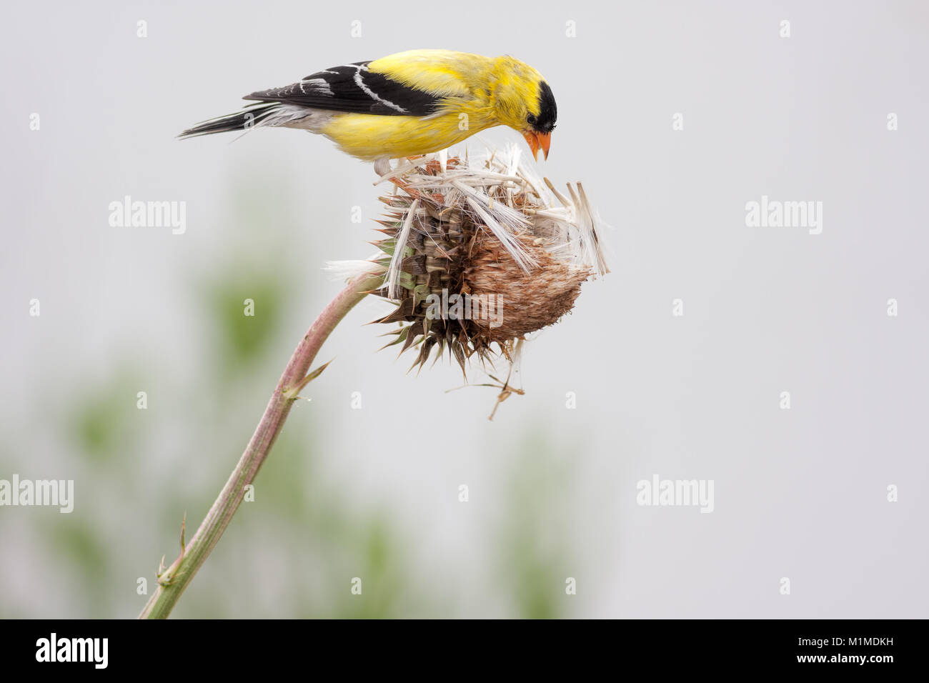 American Goldfinch (Spinus tristis), also known as the Eastern Goldfinch and Wild Canary. This photo shows the breeding - Stock Image