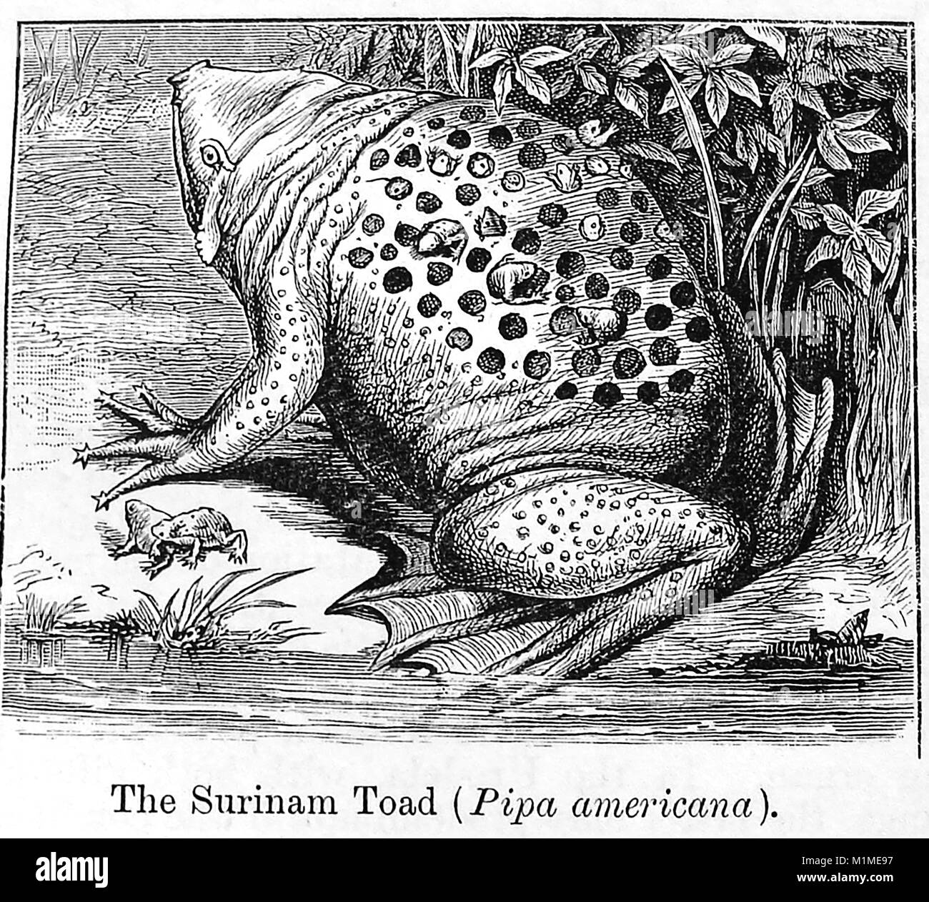 An 1889 illustration from Chamber's Encyclopedia - illustration of a COMMON SURINAME TOAD (Pipa Americana or - Stock Image