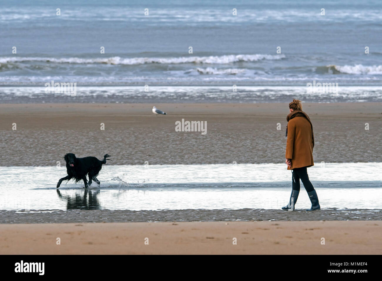 Lonely woman walking on desolate sandy beach with playful black dog running through the water along the North Sea - Stock Image