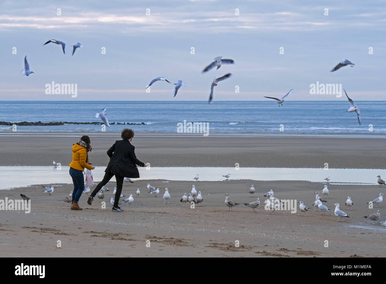 Irresponsible young girl and boy feeding flock of seagulls on beach along the North Sea coast in winter - Stock Image