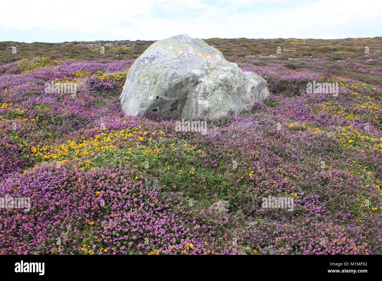 Purple Heather with Granite Rock, Cardigan Bay, Coastal Walk - Stock Image