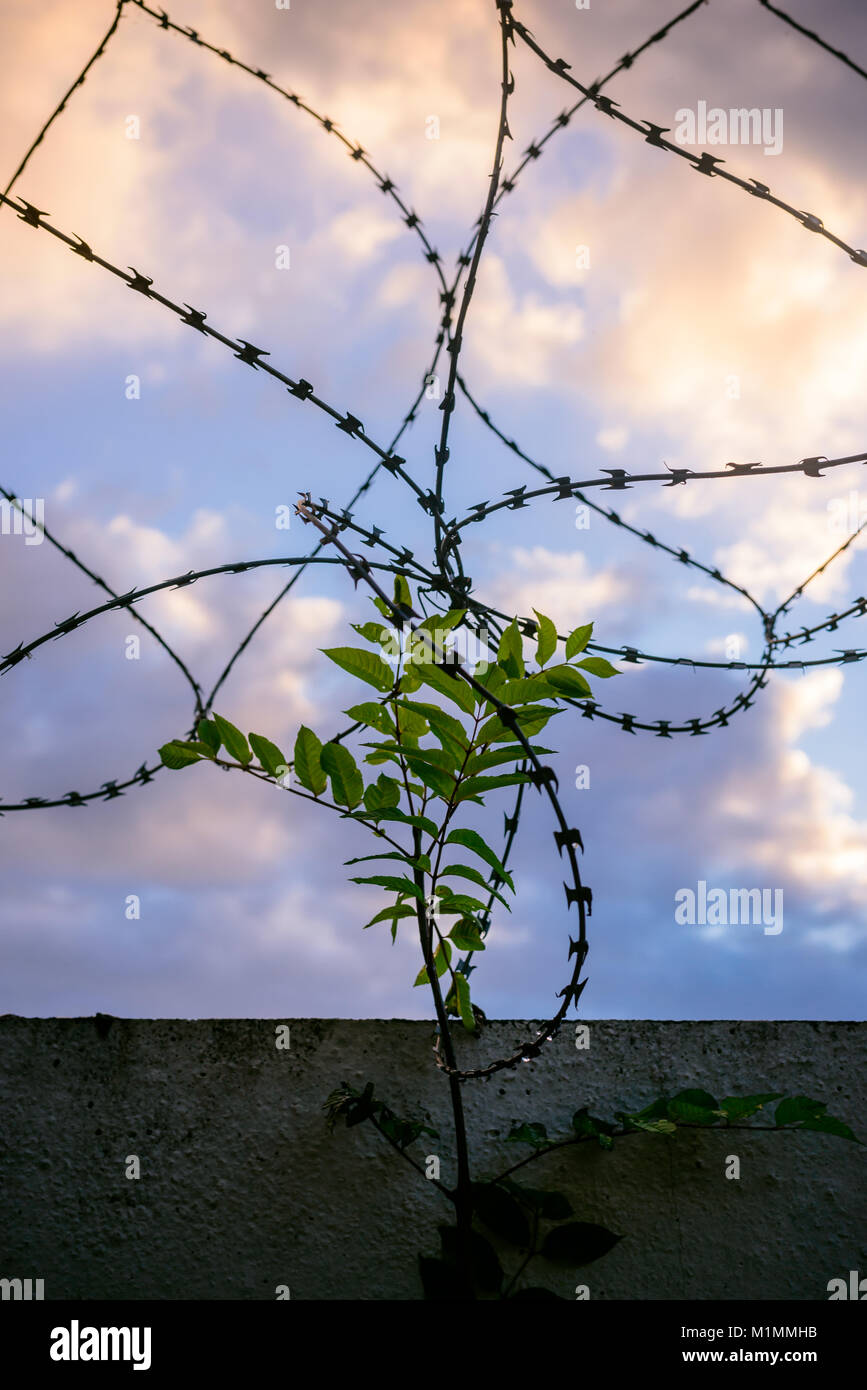 Green shoots ignoring the prison they're in - Stock Image
