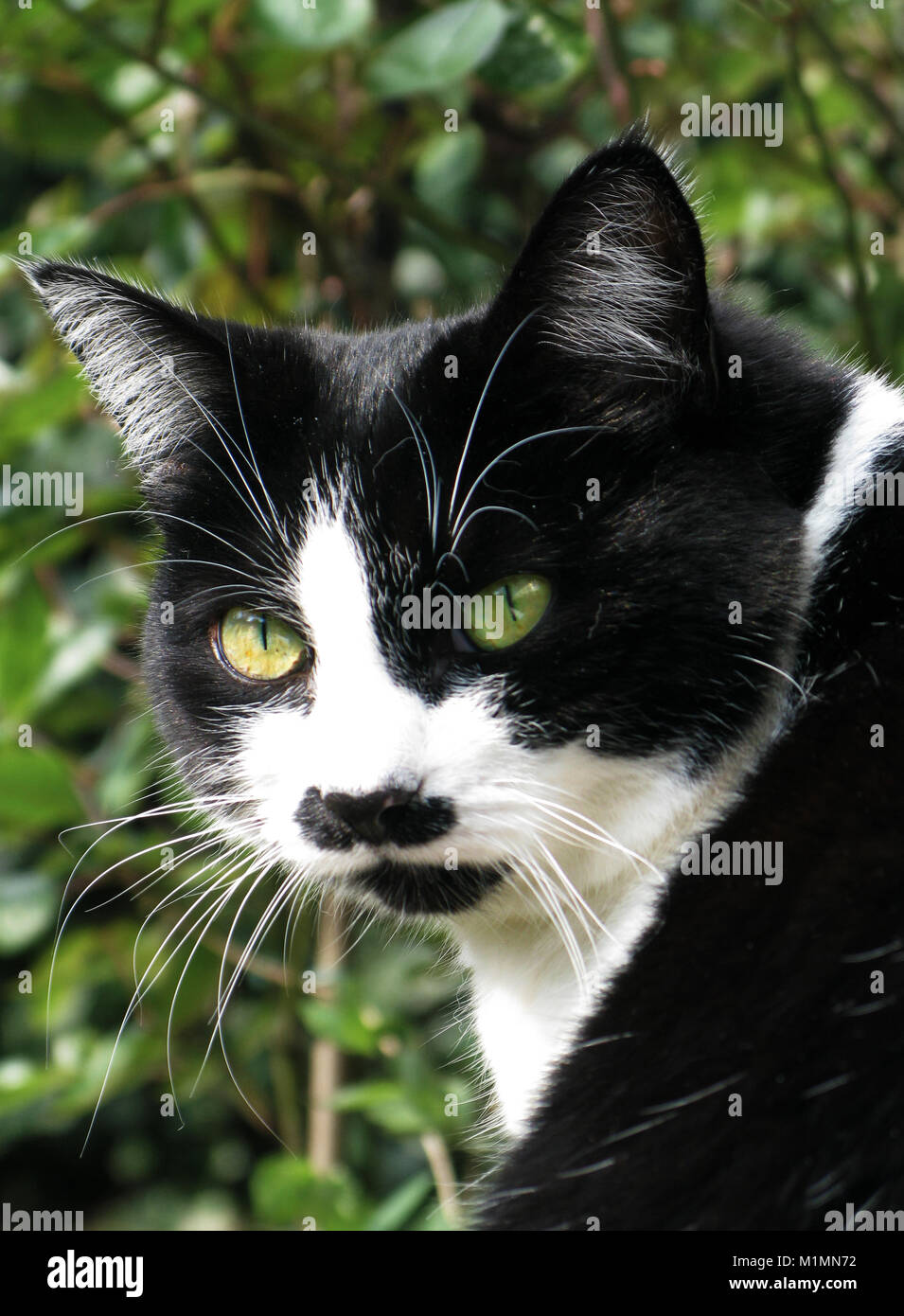 Family black and white cat - Stock Image