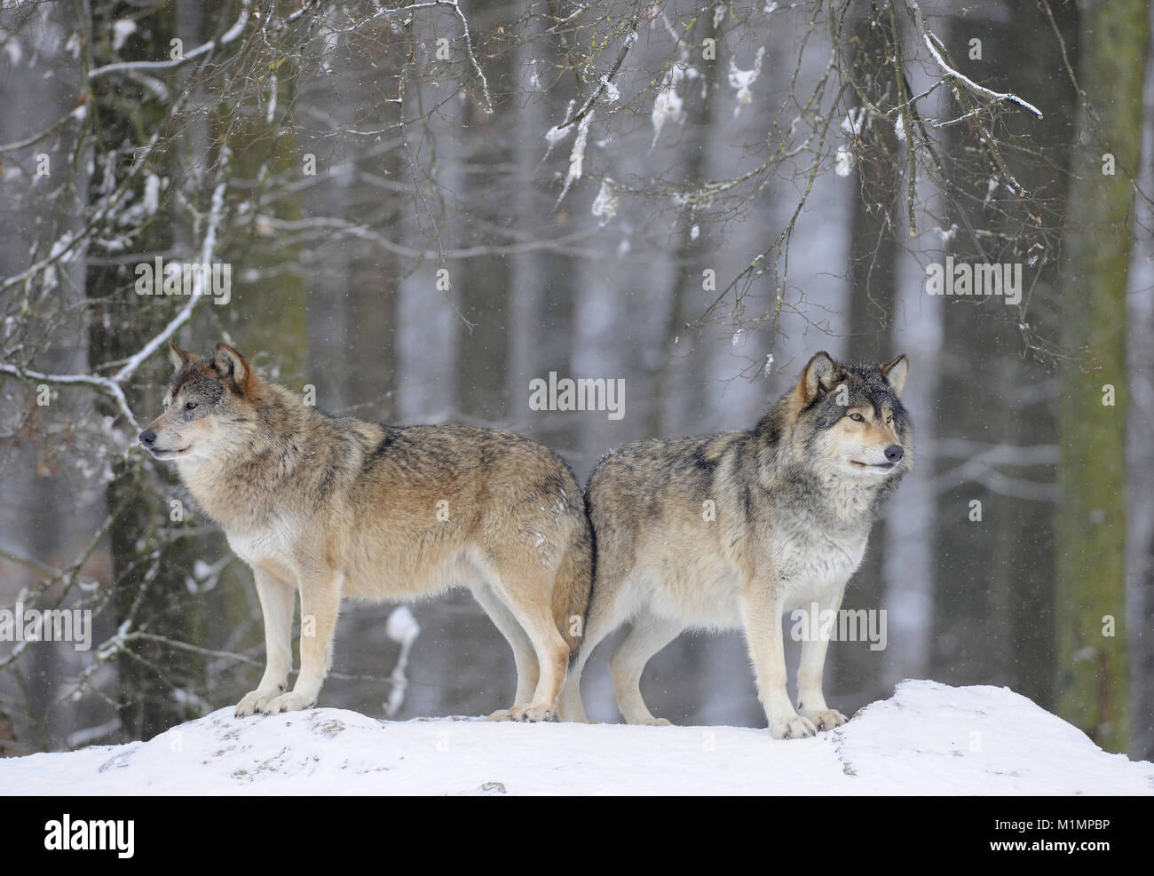 Wolf Timber Wolf Canis lupus, Wolf Timberwolf Canis lupus - Stock Image