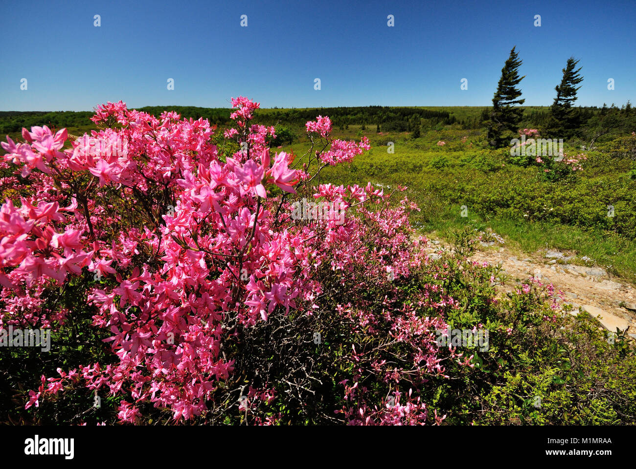 Dolly Sods decked out in Pink Azalea West Virginia - Stock Image