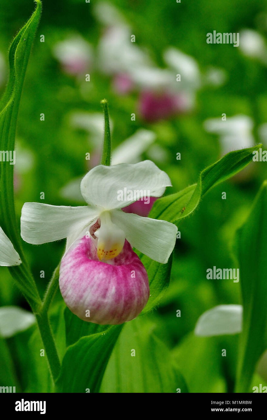 Showy Orchids on display in an open meadow - Stock Image