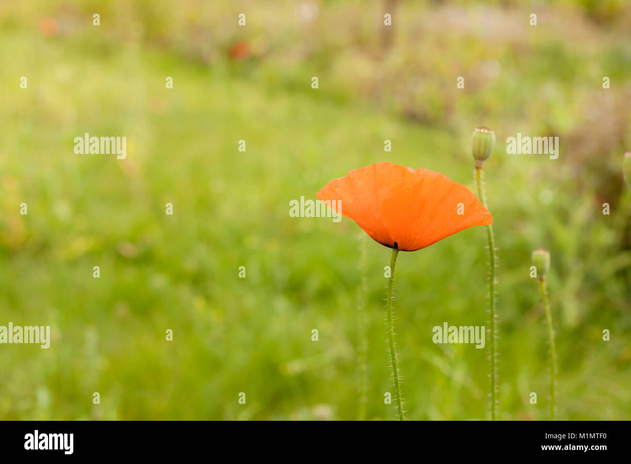 Red poppy blooming on green nature background. Airy gentle soft art image. - Stock Image