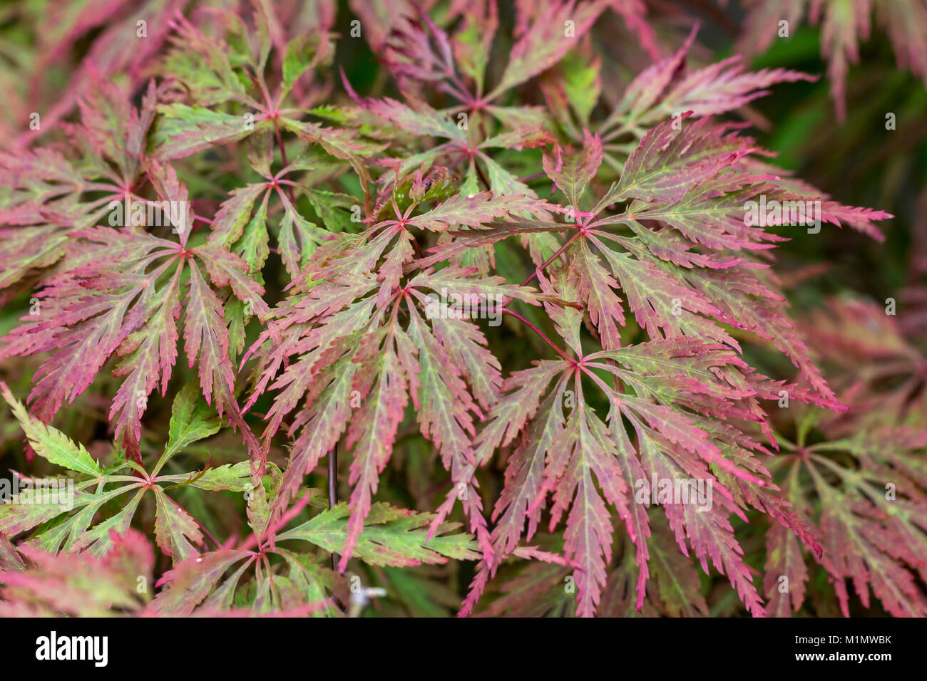 The leaves of a Japanese Maple plant - Stock Image