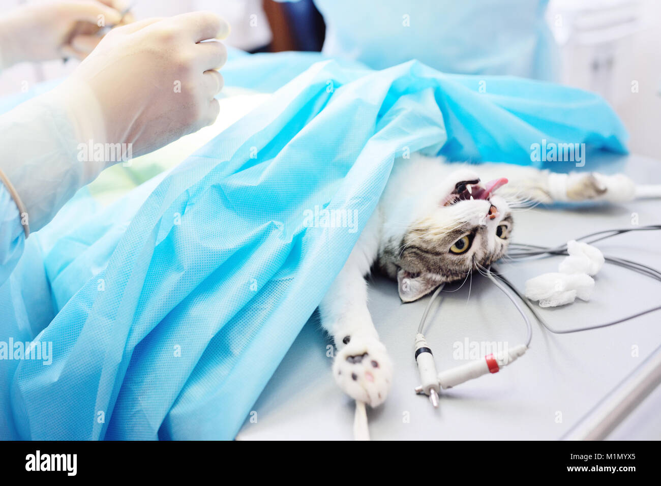 cat on the operating table Stock Photo