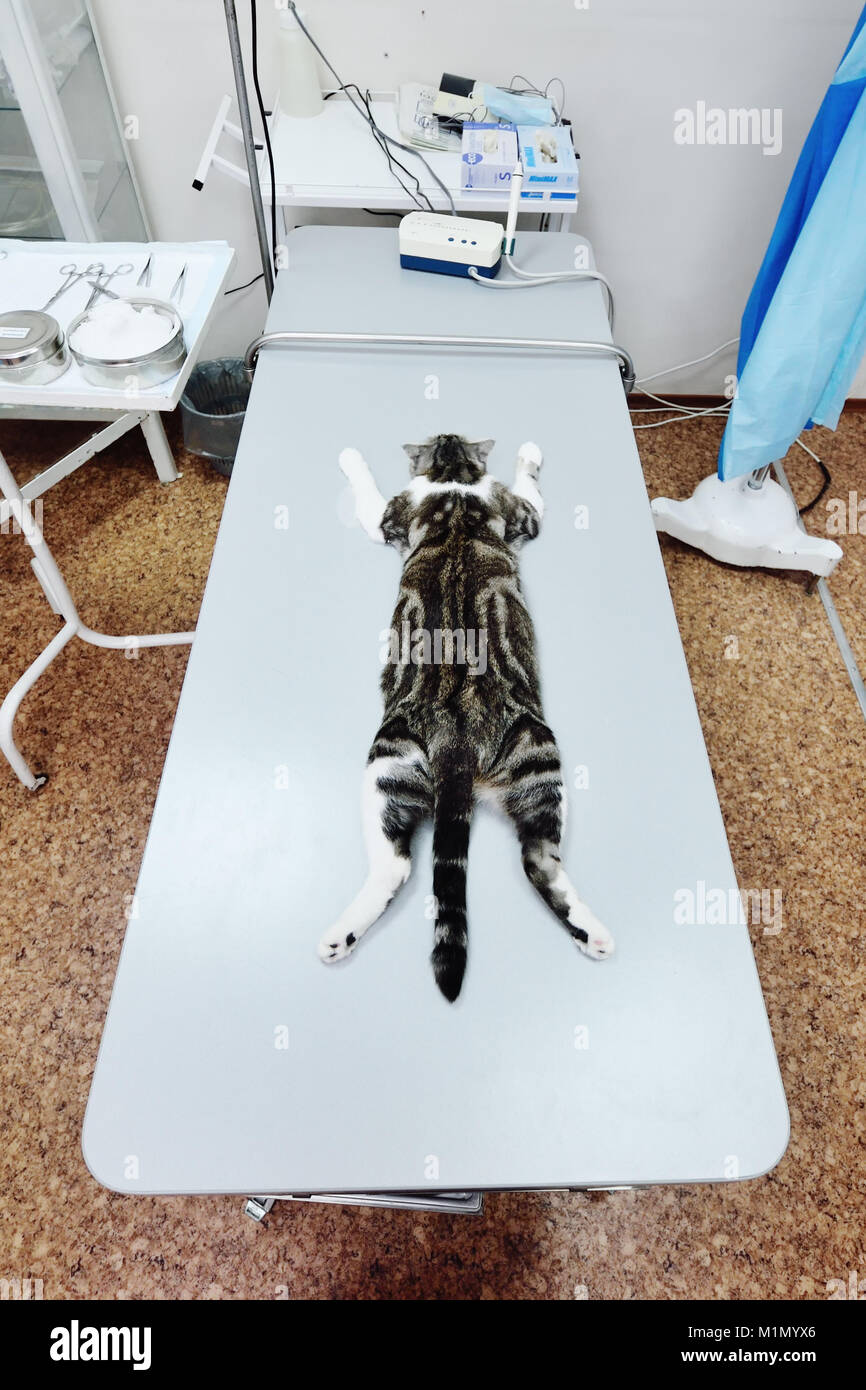 cat on the operating table - Stock Image