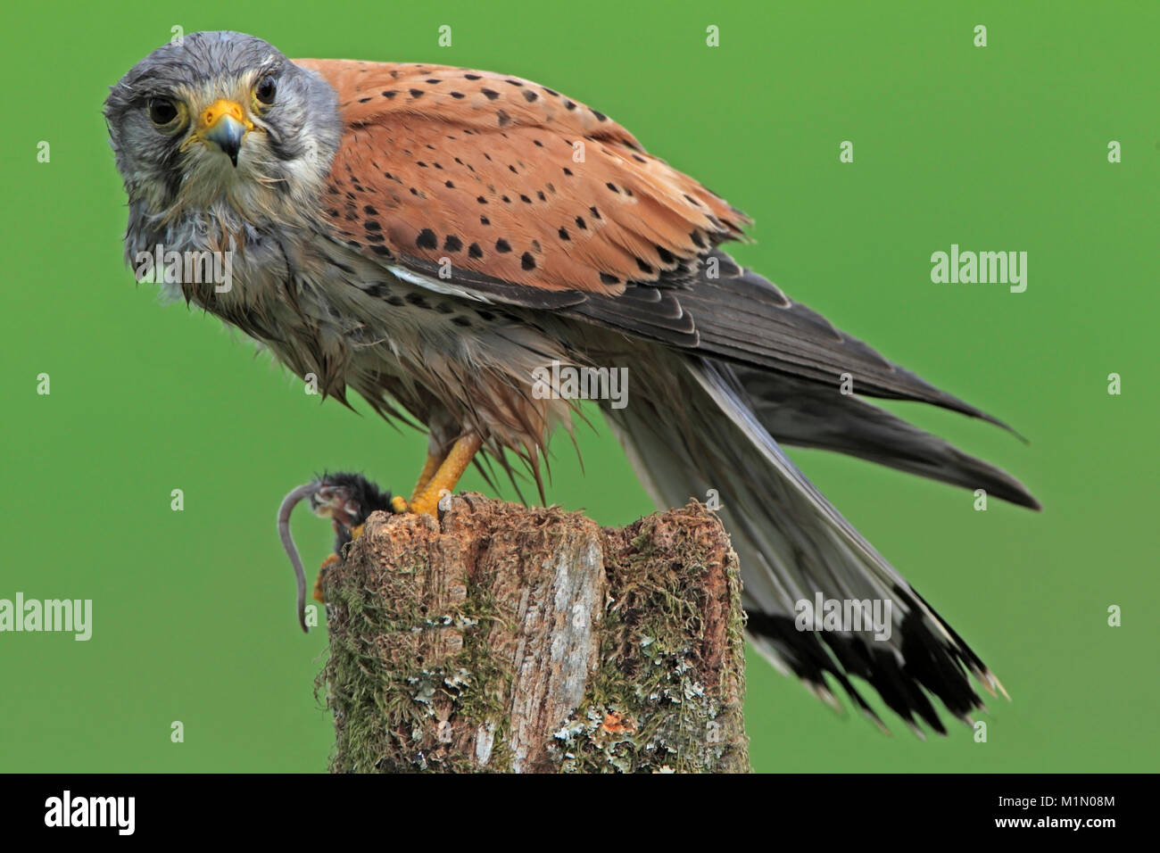 KESTREL (Falco tinnunculus) male on a post with a mouse, Worcestershire, UK. - Stock Image