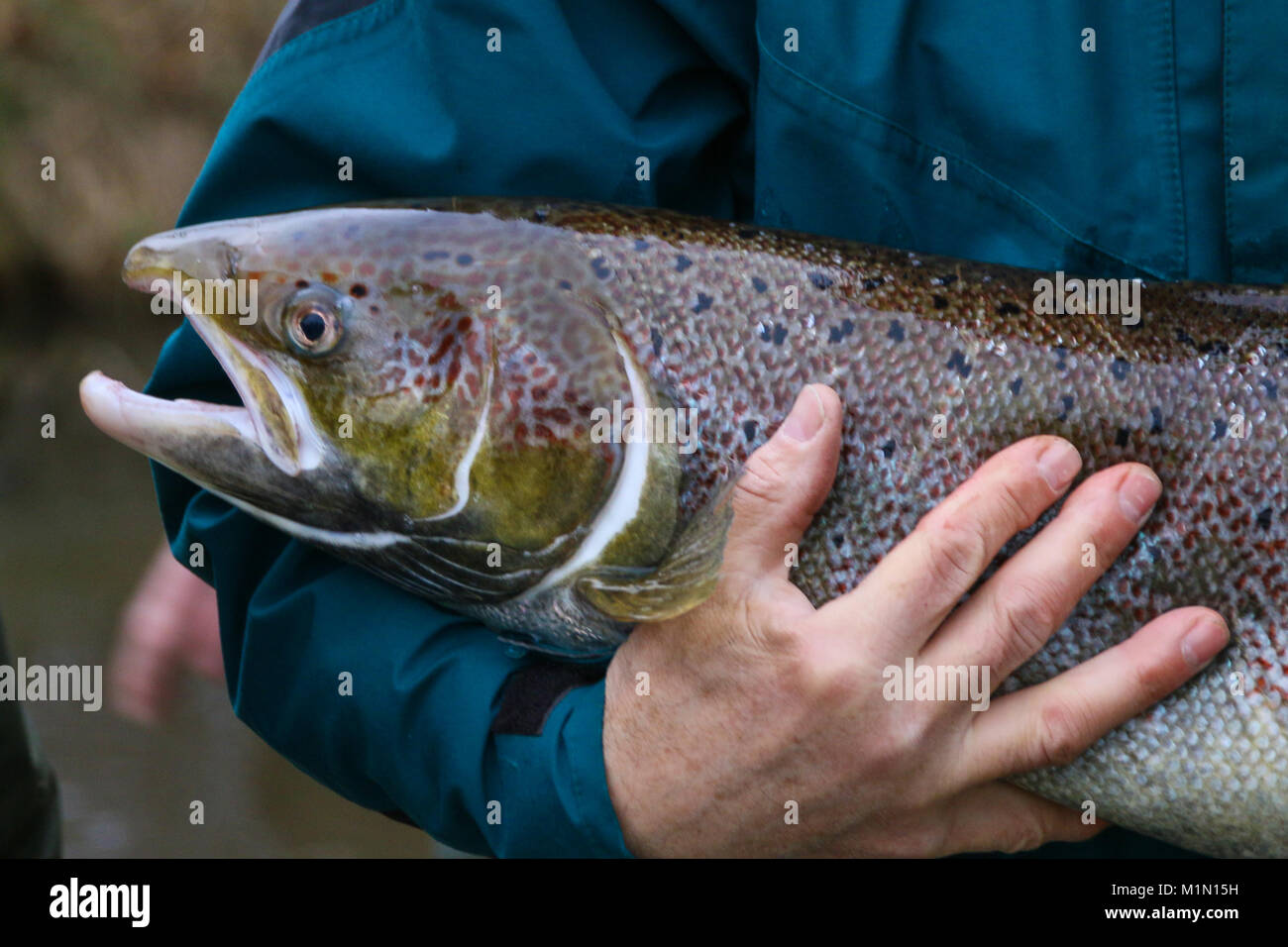Magdeburg, Germany - December 15,2017: A man is holding a salmon, which has regained its habitat in the river Nuthe Stock Photo