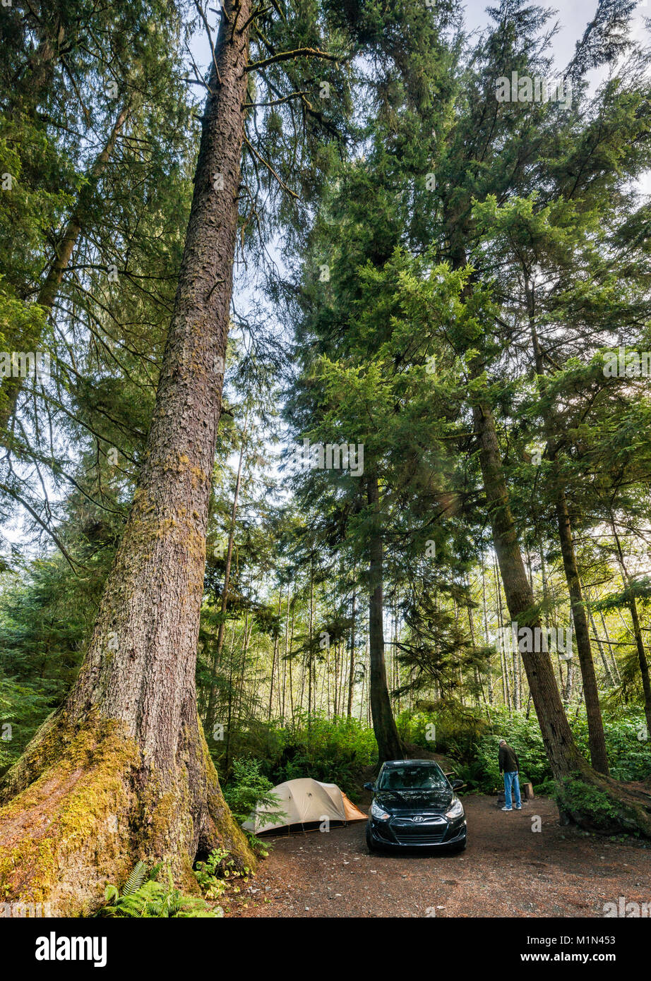 Douglas fir tree, temperate rain forest, camper at campsite at Quatse River Campground in Port Hardy, North Vancouver - Stock Image