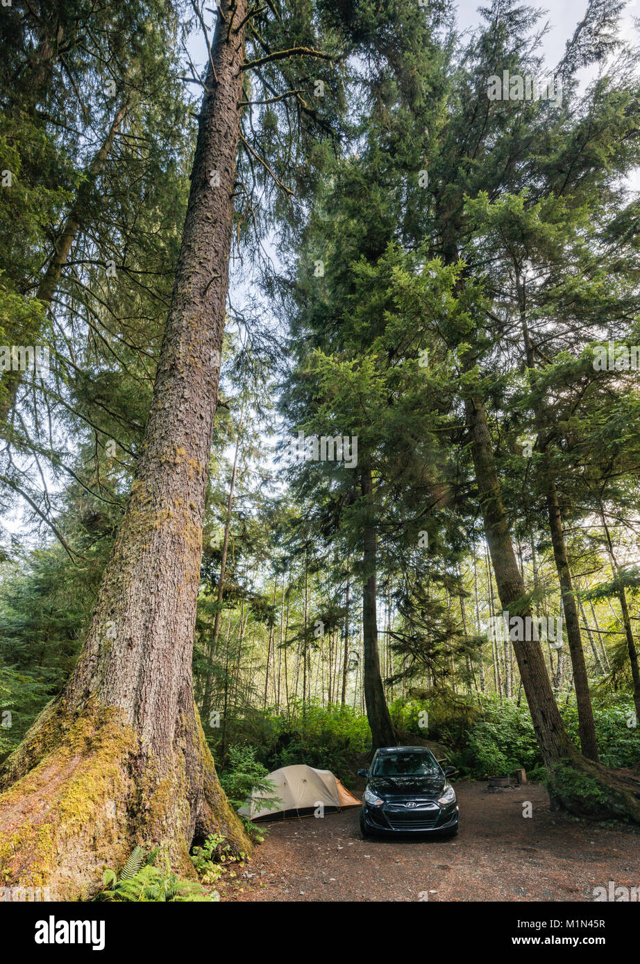 Douglas fir tree in temperate rain forest, over campsite at Quatse River Campground in Port Hardy, North Vancouver Stock Photo