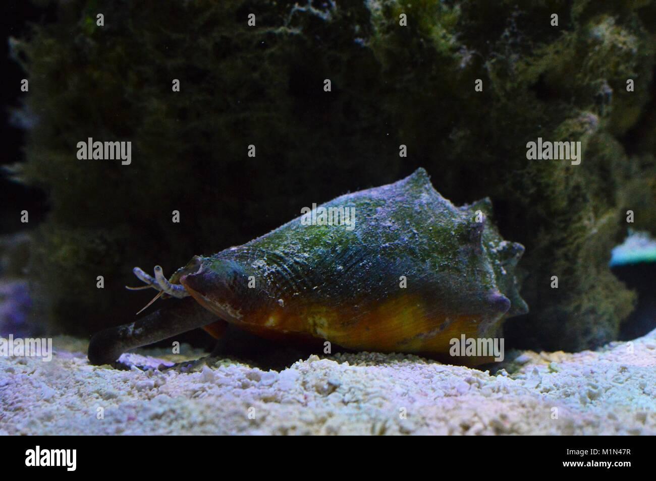 Fighting Conch in home aquarium - Stock Image