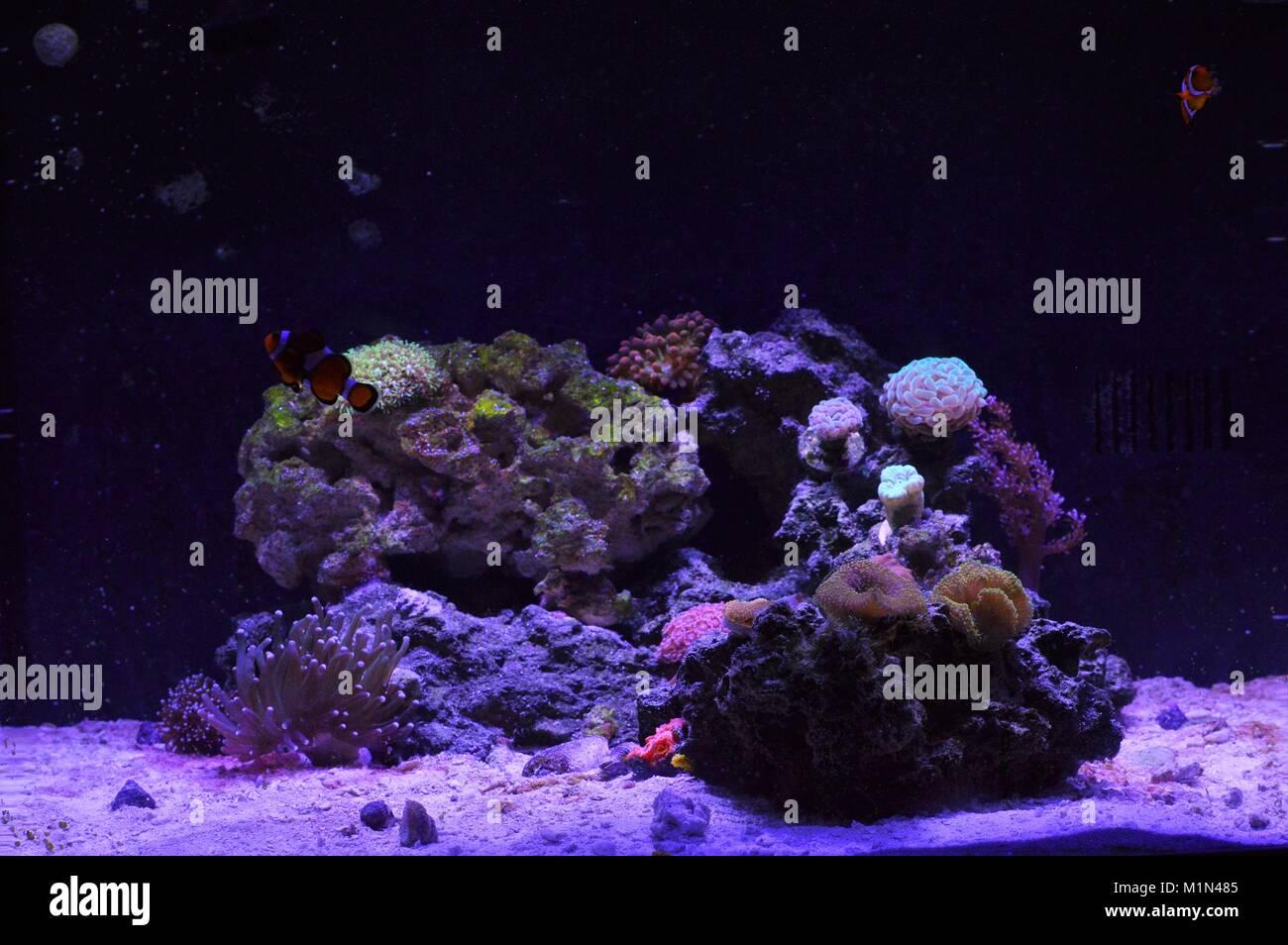Home Aquarium reef - Stock Image