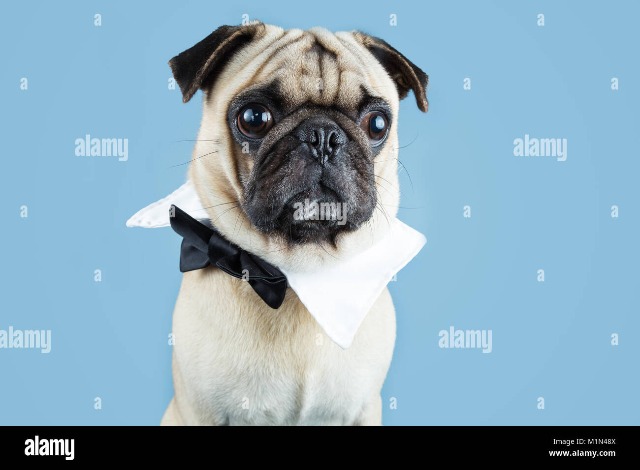A cute fawn pug wearing a bow tie as a collar with a blue background. - Stock Image