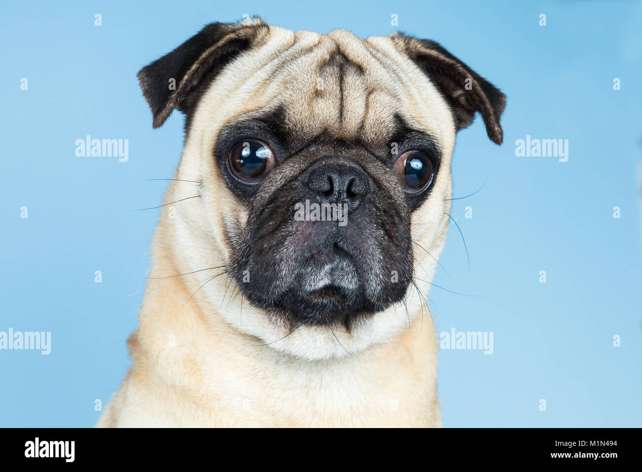 A cute fawn pug looking to the camera, placed in a blue background. - Stock Image