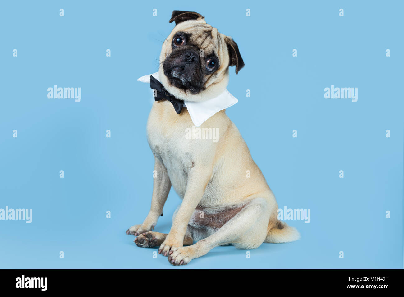 Popular Pug Bow Adorable Dog - a-cute-fawn-pug-wearing-a-bow-tie-as-a-collar-with-a-blue-background-M1N49H  Perfect Image Reference_51856  .jpg