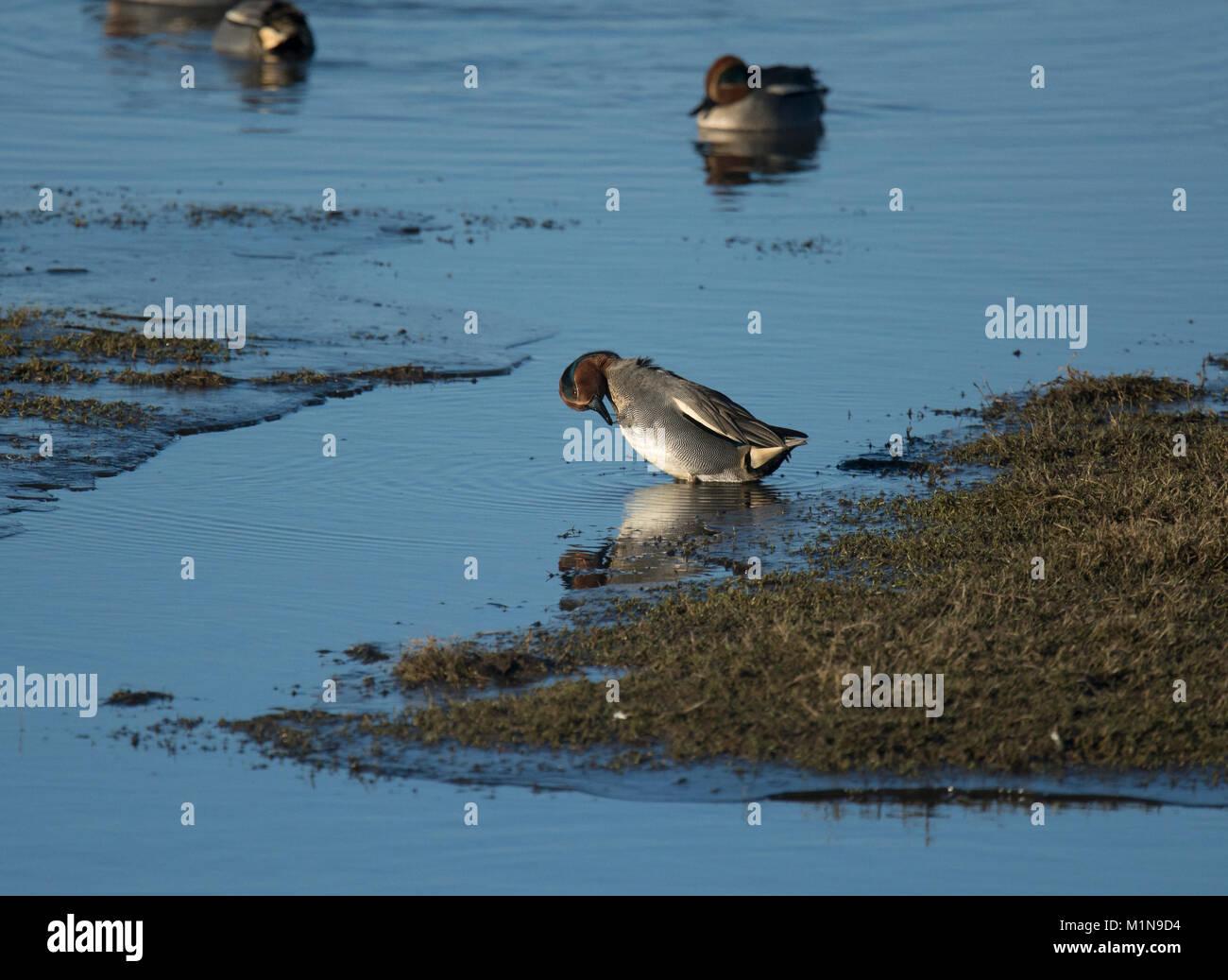 Wigeon, Anas penelope, preening, in shallow water, Lancashire, UK Stock Photo