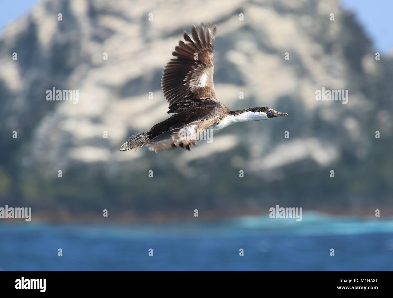 South Atlantic bird life - Stock Image