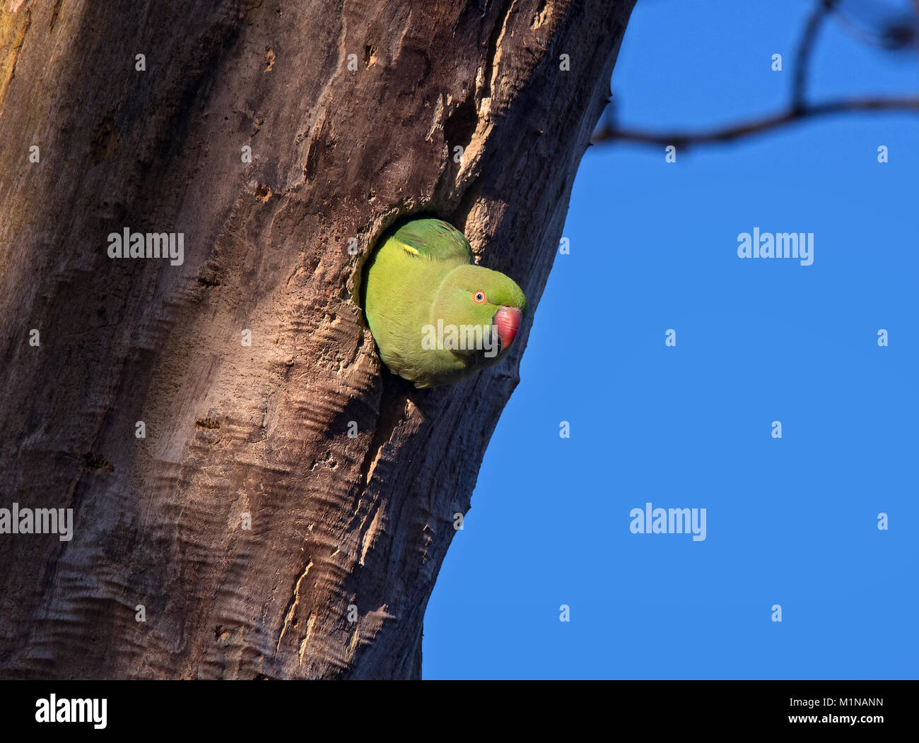 Ring Necked Parakeet , Rose-ringed parakeet, Psittacula kramer, peeping out of a Nest Hole in a Tree, Stanley Park, - Stock Image