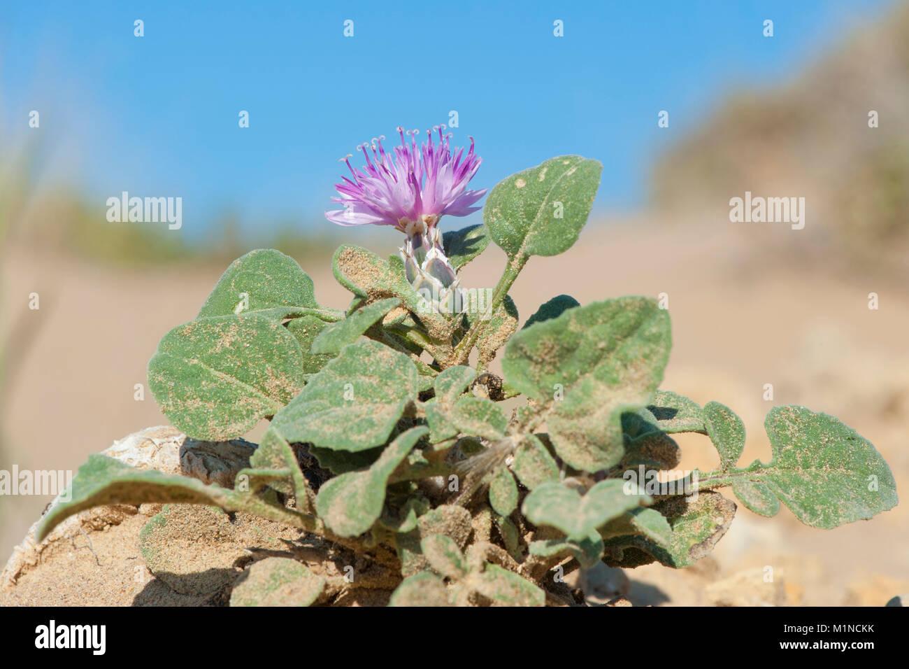 Centaurea aegialophila,Kuesten-Flockenblume,Coastloving Knapweed - Stock Image