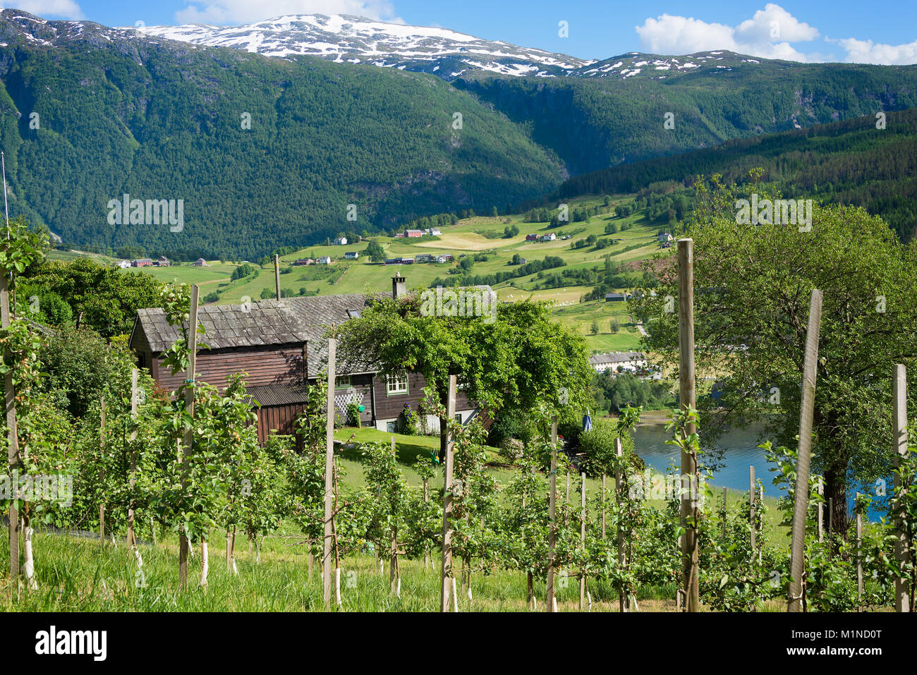 Fruit trees in an orchard on the hills around the Hardanger fjord with mountains with snow behind it showing the - Stock Image