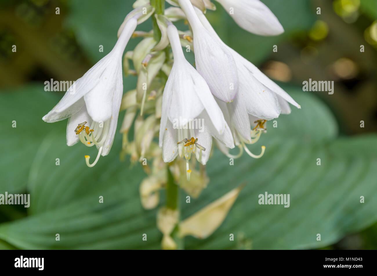 Hostas are broad leafed herbacious shade loving perennials. - Stock Image
