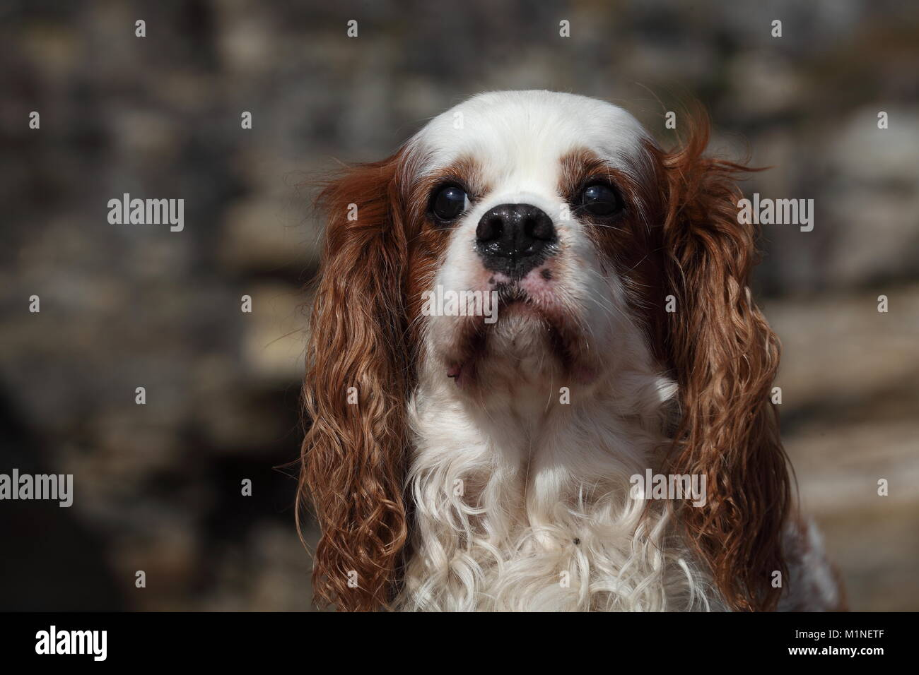 A dog with big floppy ears - Stock Image