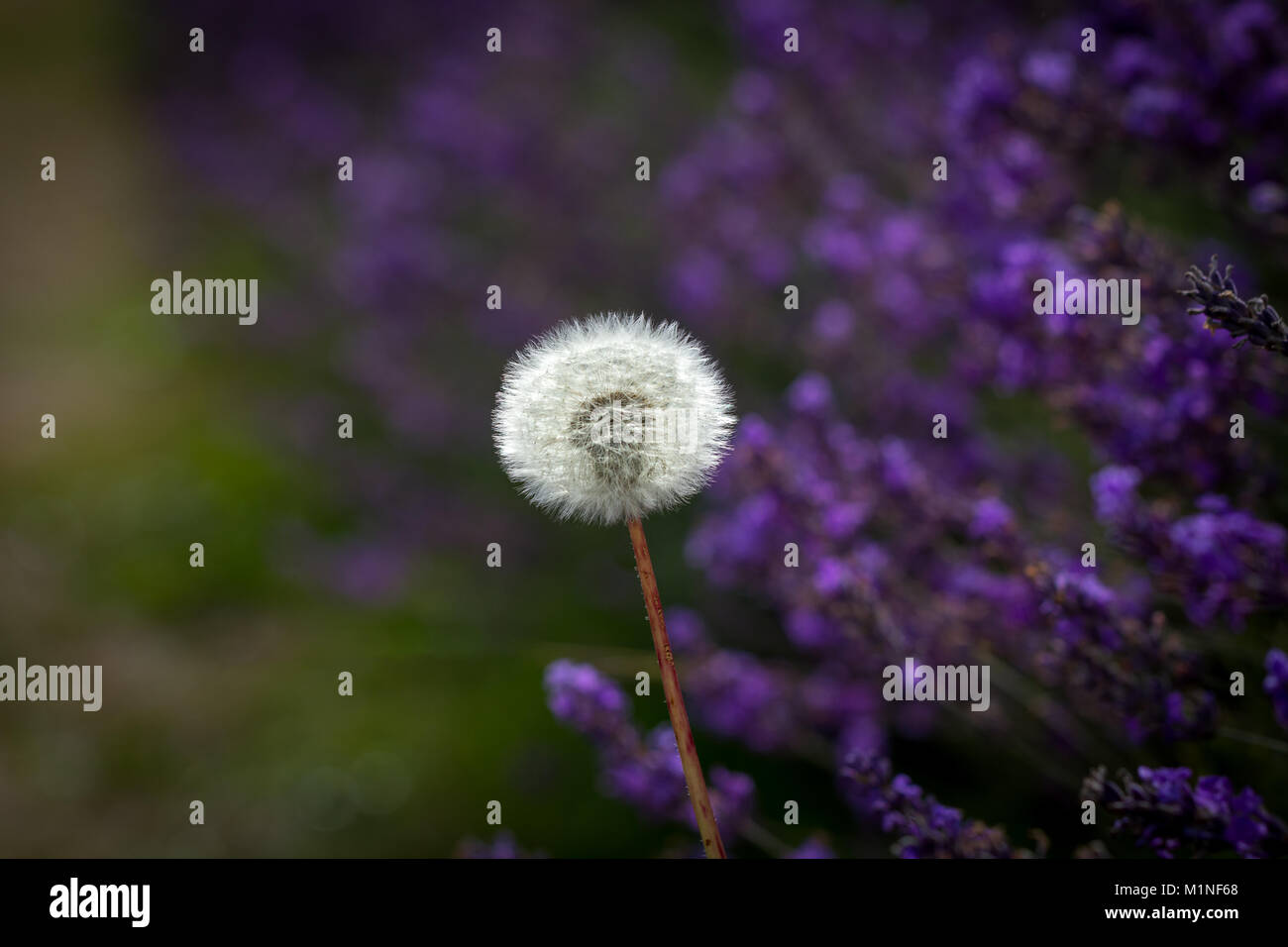 purple dandelion flower growing in stock photos & purple dandelion
