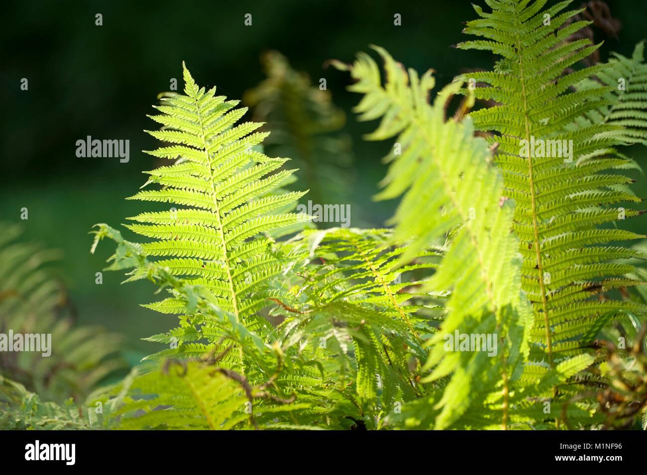 Goldschuppenfarn Dryopteris affinis